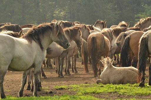 een kudde paarden
